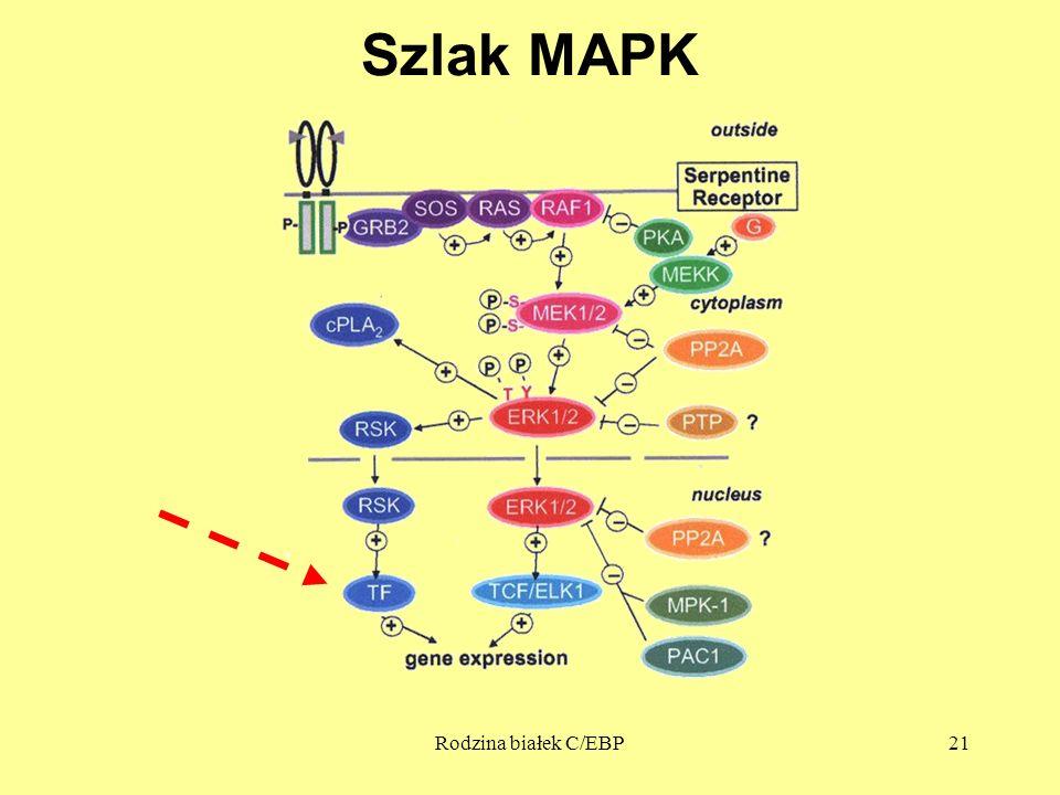 Szlak MAPK Rodzina białek C/EBP