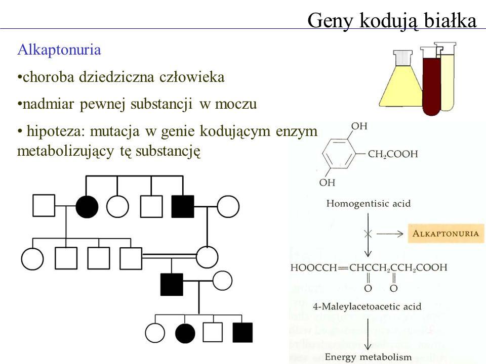 Geny kodują białka Alkaptonuria choroba dziedziczna człowieka