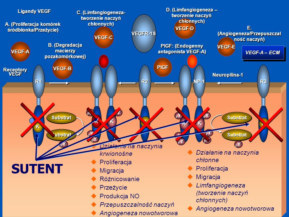 SUTENT Działanie na naczynia krwionośne Działanie na naczynia chłonne