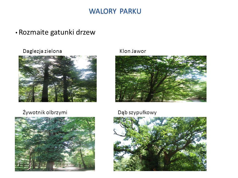 WALORY PARKU Rozmaite gatunki drzew Daglezja zielona Klon Jawor