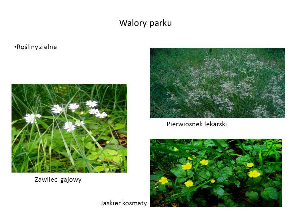 Walory parku Rośliny zielne Pierwiosnek lekarski Zawilec gajowy