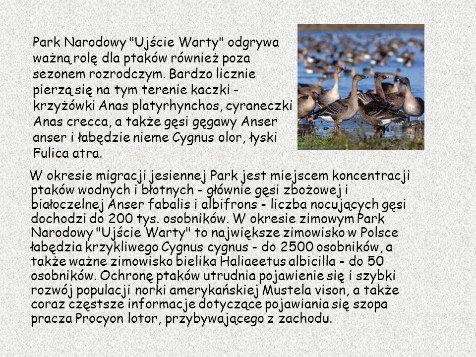 Park Narodowy Ujście Warty odgrywa ważną rolę dla ptaków również poza sezonem rozrodczym. Bardzo licznie pierzą się na tym terenie kaczki - krzyżówki Anas platyrhynchos, cyraneczki Anas crecca, a także gęsi gęgawy Anser anser i łabędzie nieme Cygnus olor, łyski Fulica atra.