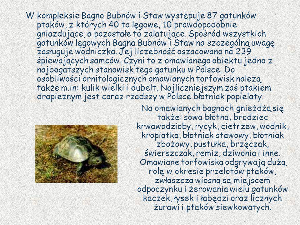 W kompleksie Bagno Bubnów i Staw występuje 87 gatunków ptaków, z których 40 to lęgowe, 10 prawdopodobnie gniazdujące, a pozostałe to zalatujące. Spośród wszystkich gatunków lęgowych Bagna Bubnów i Staw na szczególną uwagę zasługuje wodniczka. Jej liczebność oszacowano na 239 śpiewających samców. Czyni to z omawianego obiektu jedno z najbogatszych stanowisk tego gatunku w Polsce. Do osobliwości ornitologicznych omawianych torfowisk należą także m.in: kulik wielki i dubelt. Najliczniejszym zaś ptakiem drapieżnym jest coraz rzadszy w Polsce błotniak popielaty.