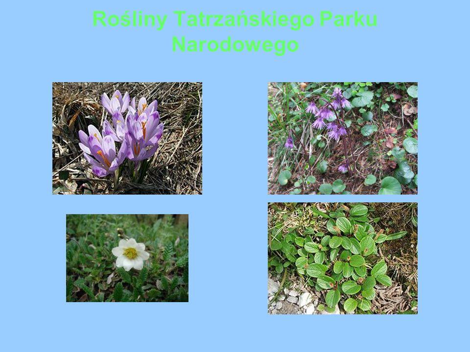 Rośliny Tatrzańskiego Parku Narodowego