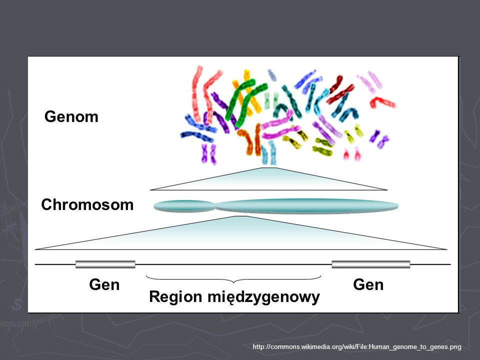 Genom Chromosom Gen Gen Region międzygenowy