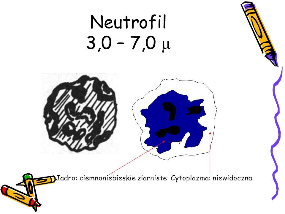 Neutrofil 3,0 – 7,0 µ Jadro: ciemnoniebieskie ziarniste Cytoplazma: niewidoczna