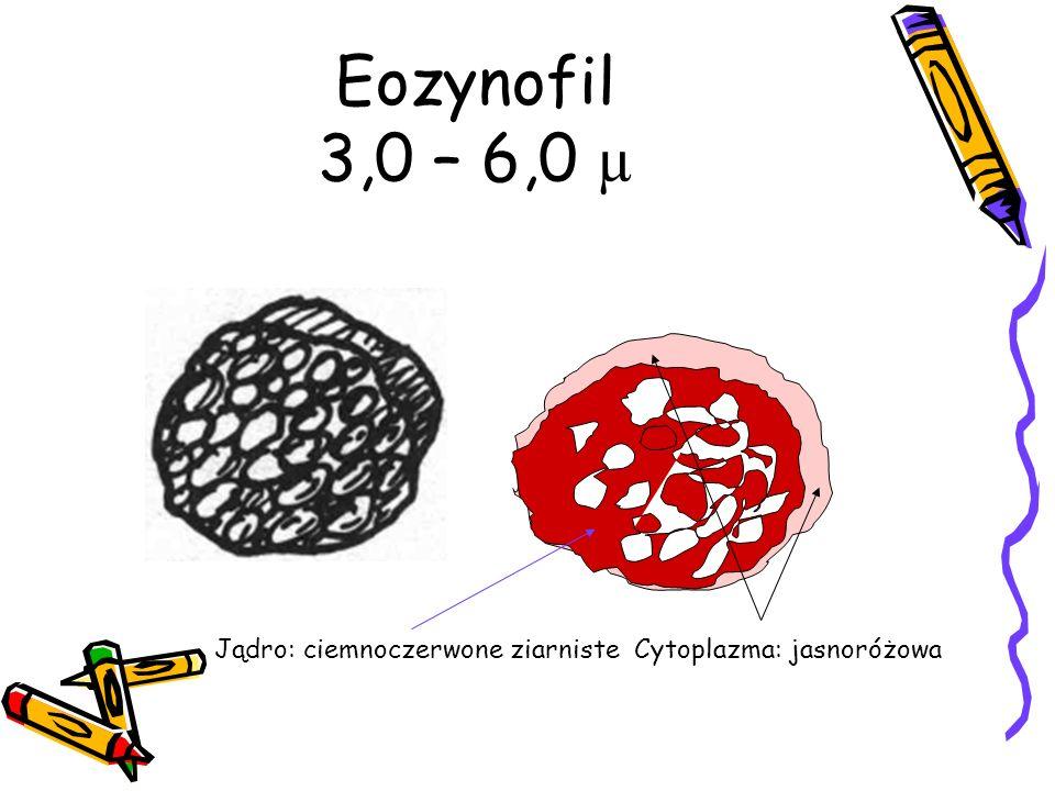 Eozynofil 3,0 – 6,0 µ Jądro: ciemnoczerwone ziarniste Cytoplazma: jasnoróżowa