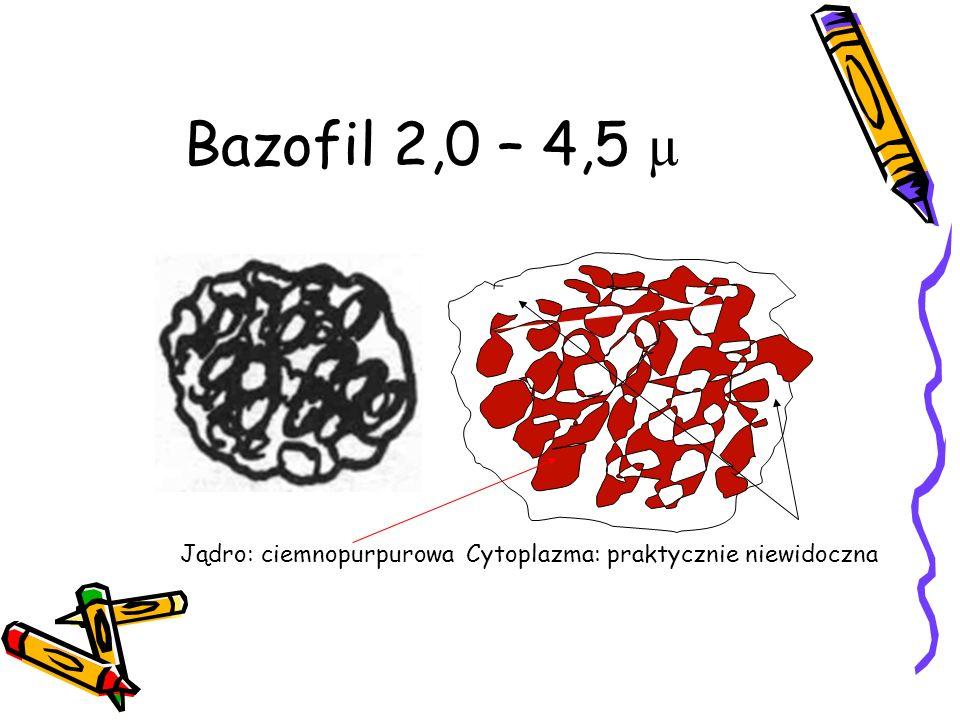 Bazofil 2,0 – 4,5 µ Jądro: ciemnopurpurowa Cytoplazma: praktycznie niewidoczna