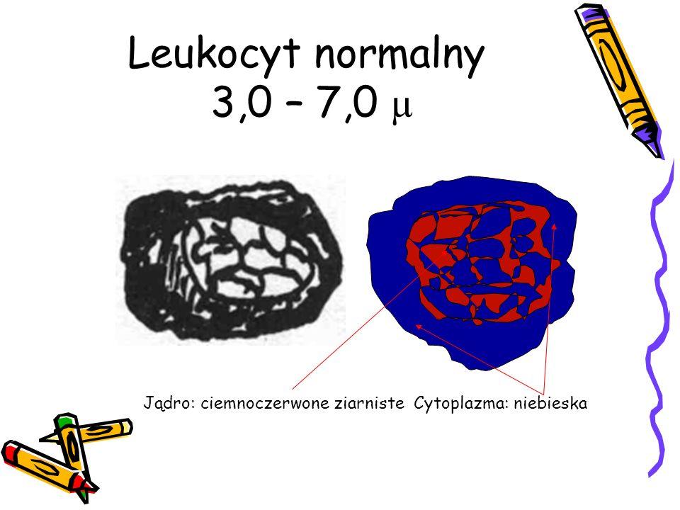 Leukocyt normalny 3,0 – 7,0 µ Jądro: ciemnoczerwone ziarniste Cytoplazma: niebieska