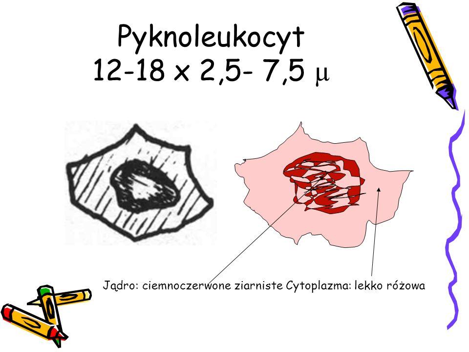 Pyknoleukocyt 12-18 x 2,5- 7,5 µ Jądro: ciemnoczerwone ziarniste Cytoplazma: lekko różowa