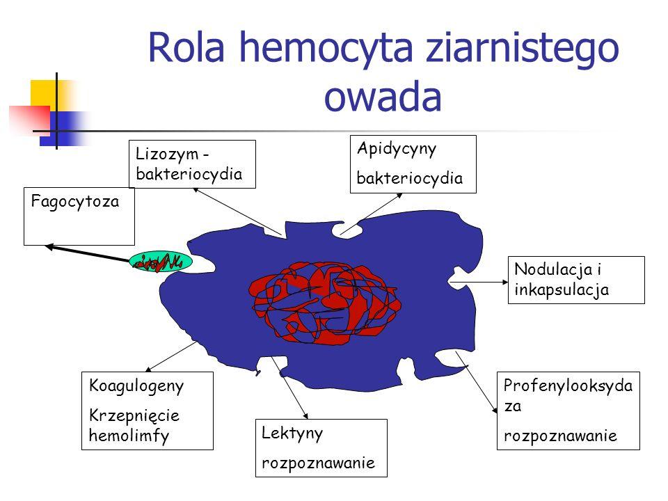 Rola hemocyta ziarnistego owada