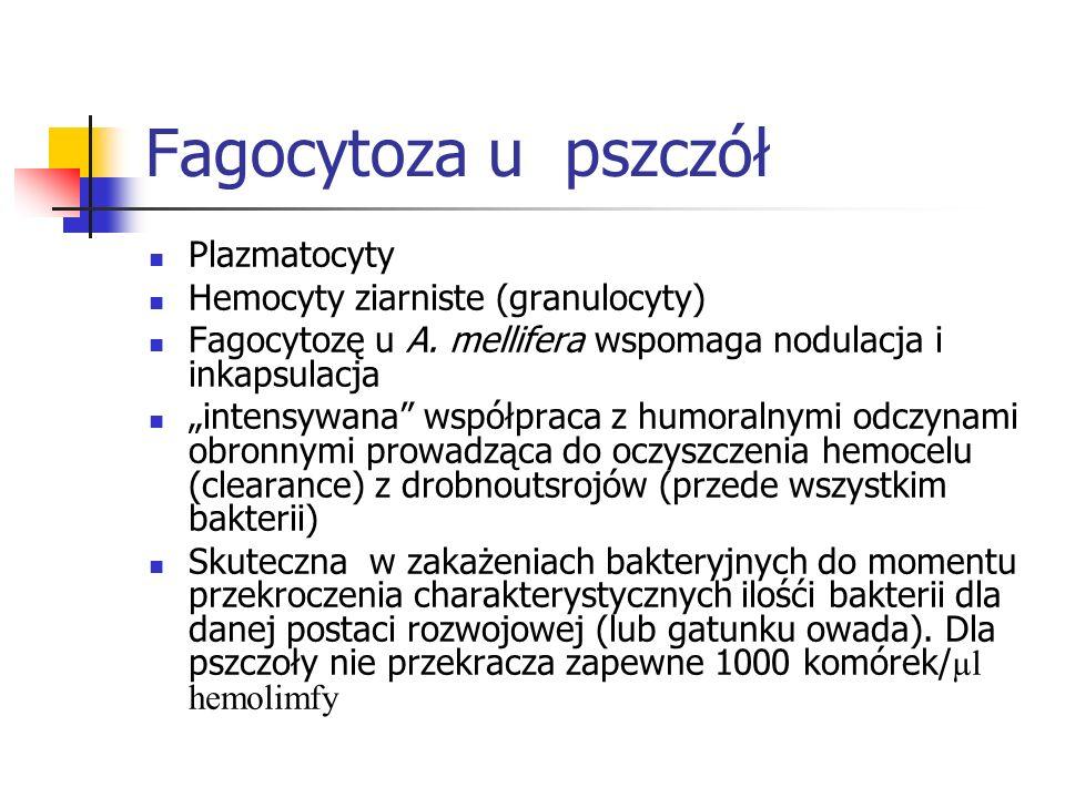 Fagocytoza u pszczół Plazmatocyty Hemocyty ziarniste (granulocyty)