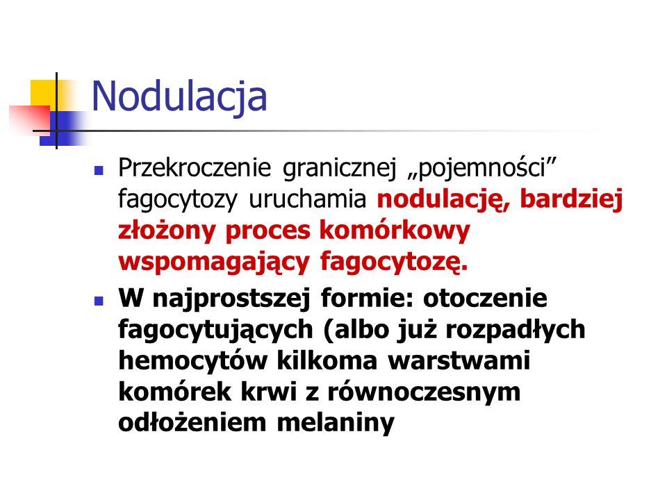 """NodulacjaPrzekroczenie granicznej """"pojemności fagocytozy uruchamia nodulację, bardziej złożony proces komórkowy wspomagający fagocytozę."""