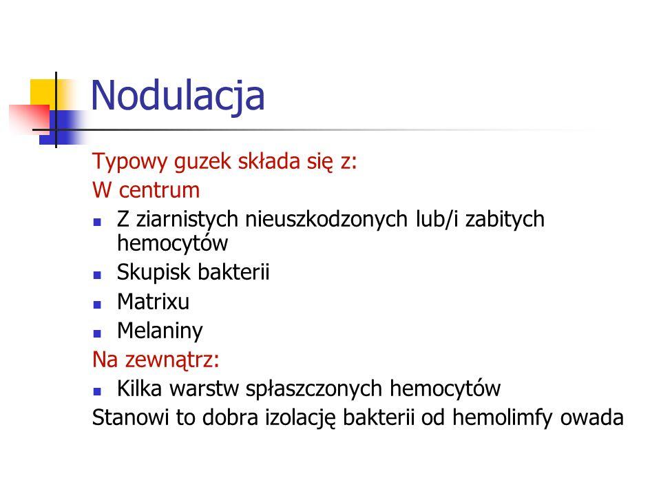 Nodulacja Typowy guzek składa się z: W centrum