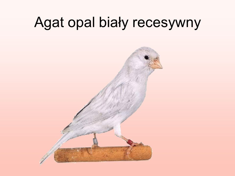 Agat opal biały recesywny