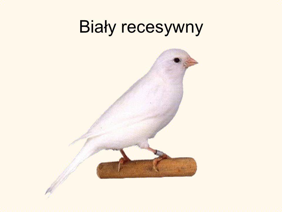 Biały recesywny