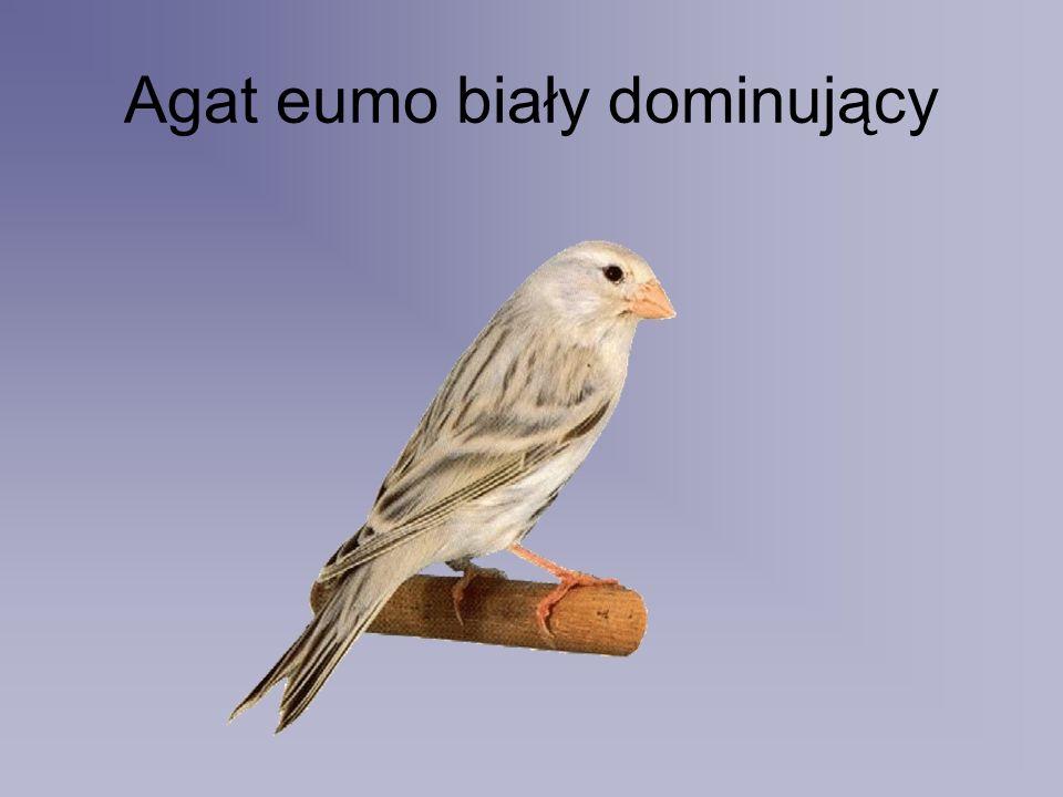 Agat eumo biały dominujący
