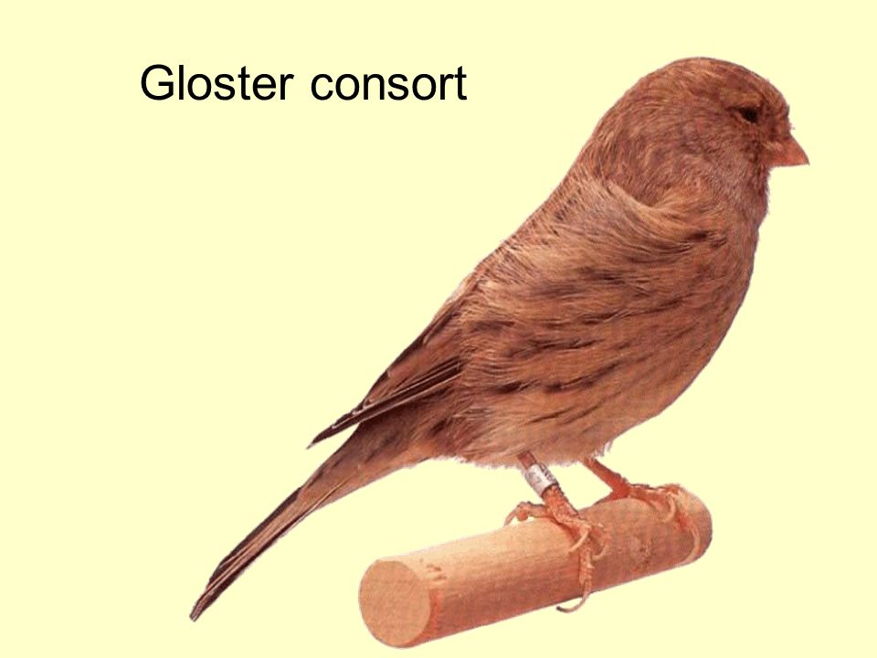 Gloster consort