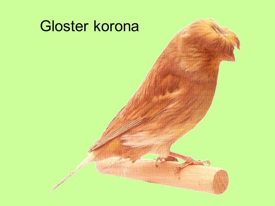 Gloster korona