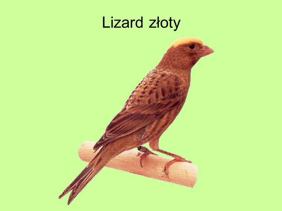 Lizard złoty