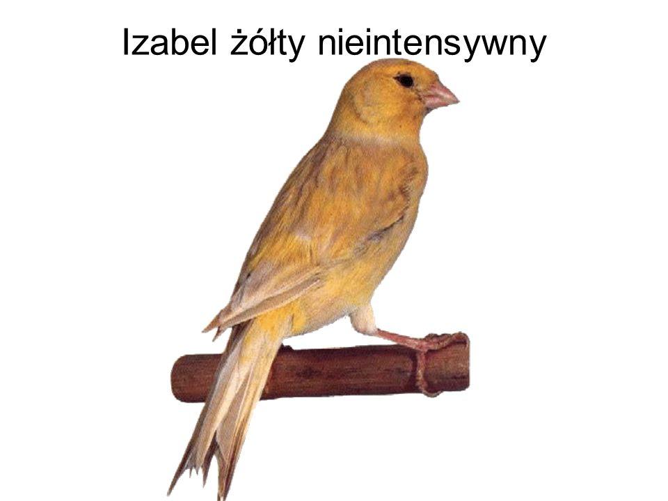 Izabel żółty nieintensywny