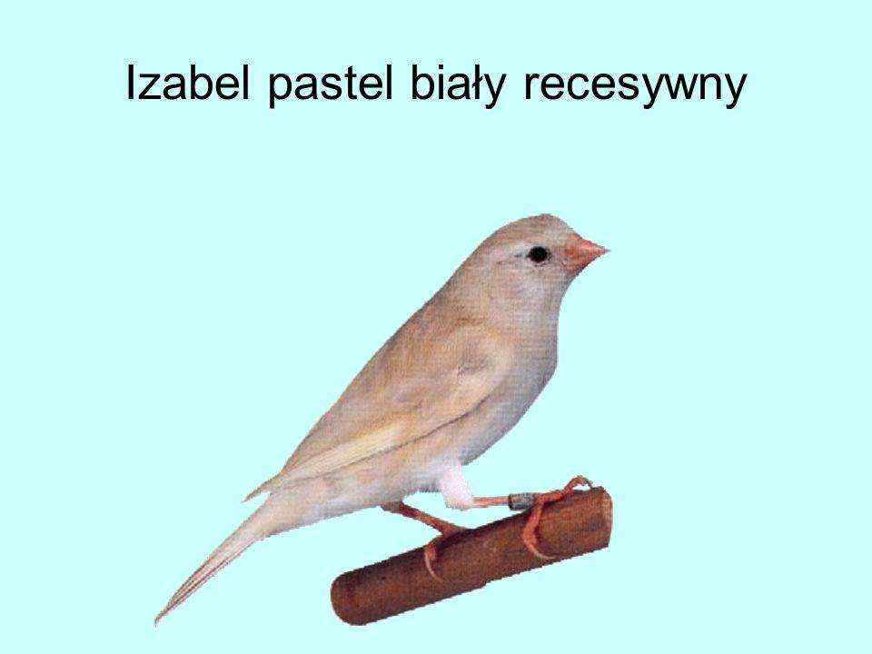 Izabel pastel biały recesywny