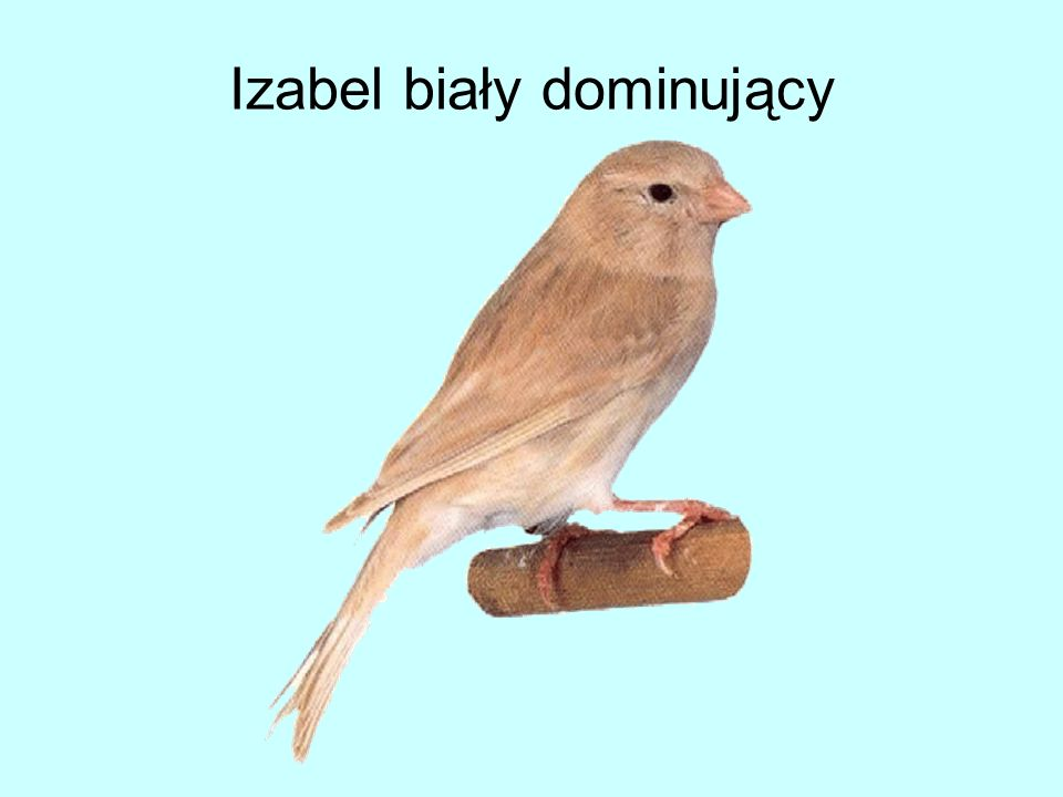 Izabel biały dominujący