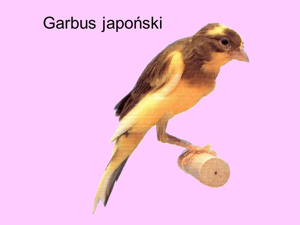 Garbus japoński