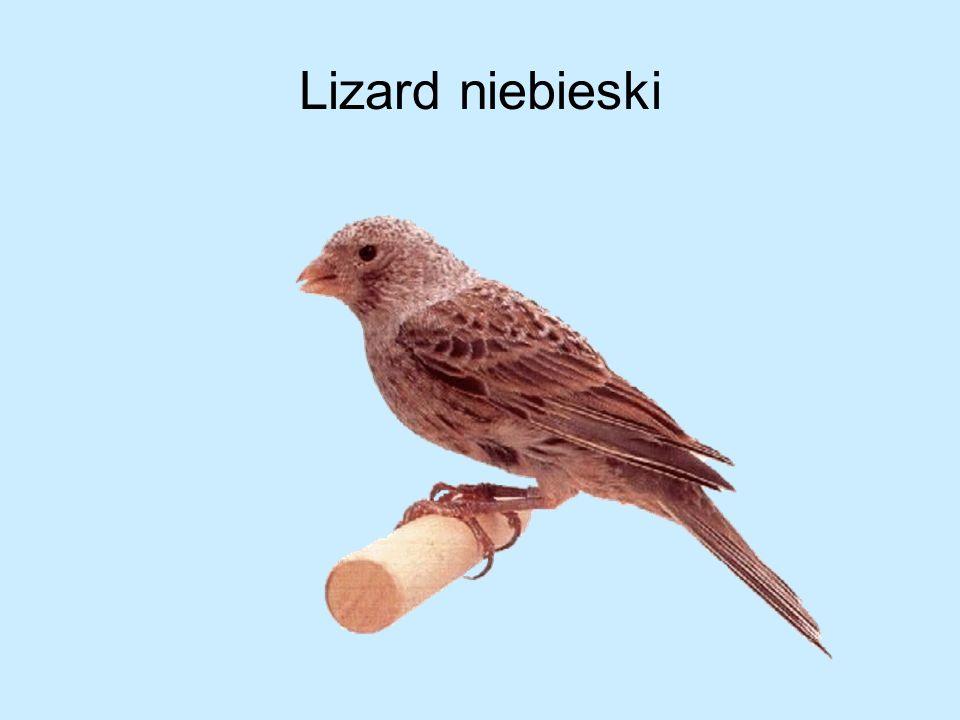 Lizard niebieski