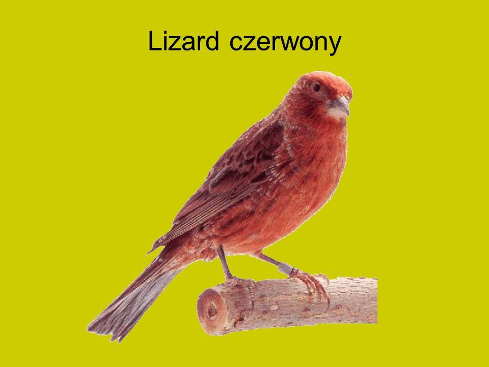 Lizard czerwony