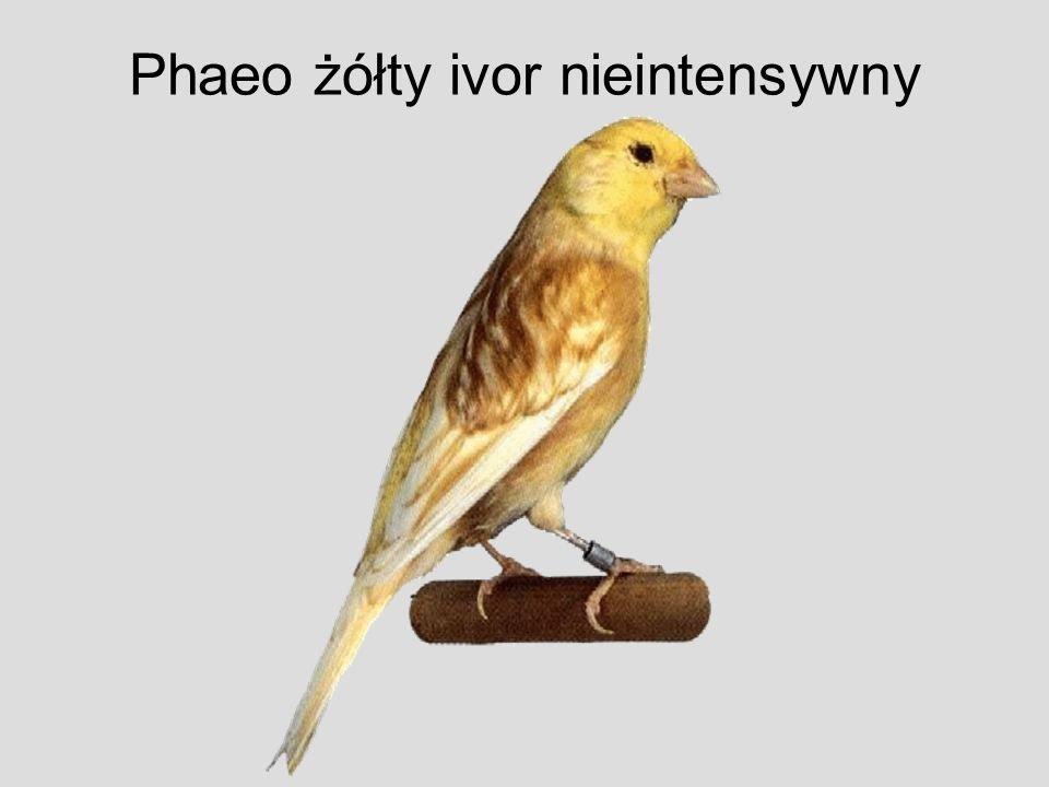 Phaeo żółty ivor nieintensywny