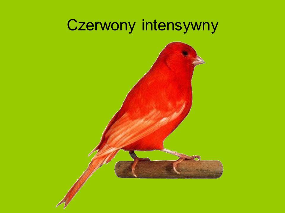 Czerwony intensywny