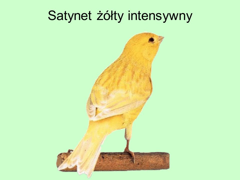 Satynet żółty intensywny