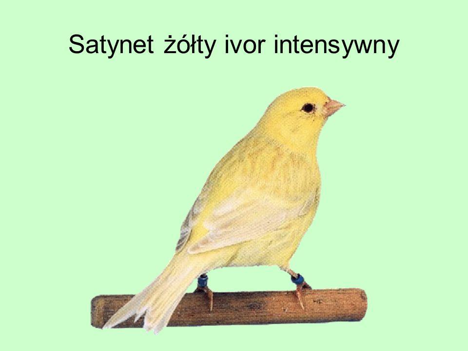 Satynet żółty ivor intensywny