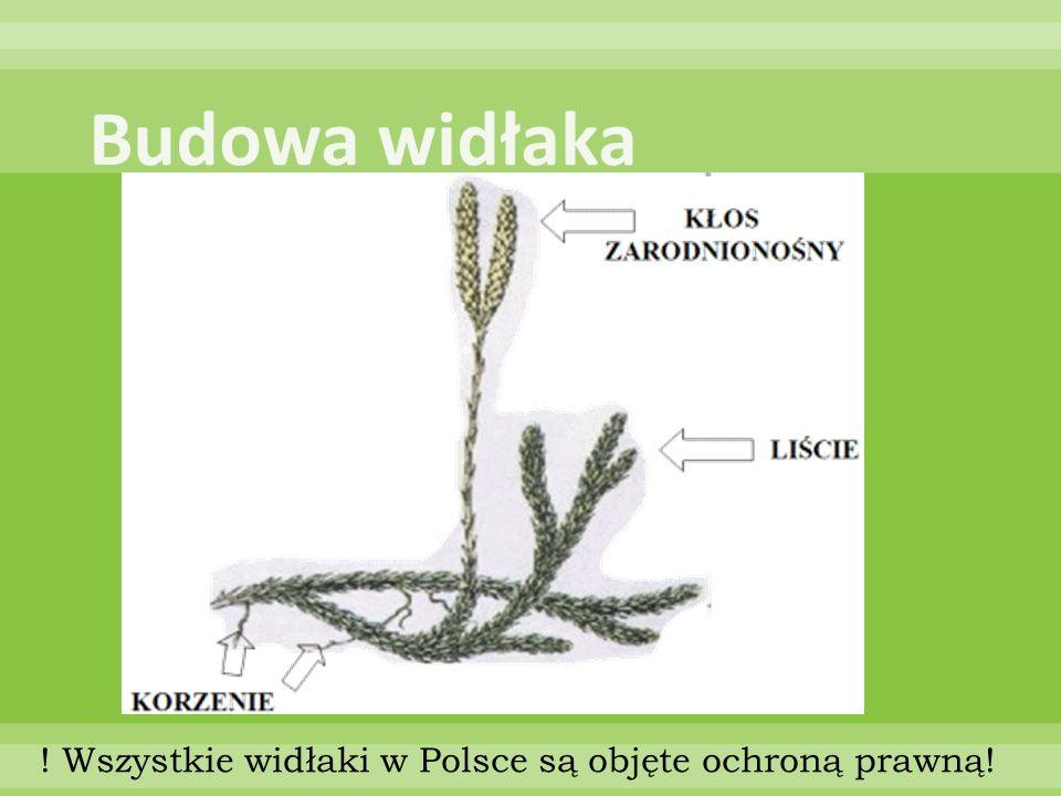 Budowa widłaka ! Wszystkie widłaki w Polsce są objęte ochroną prawną!
