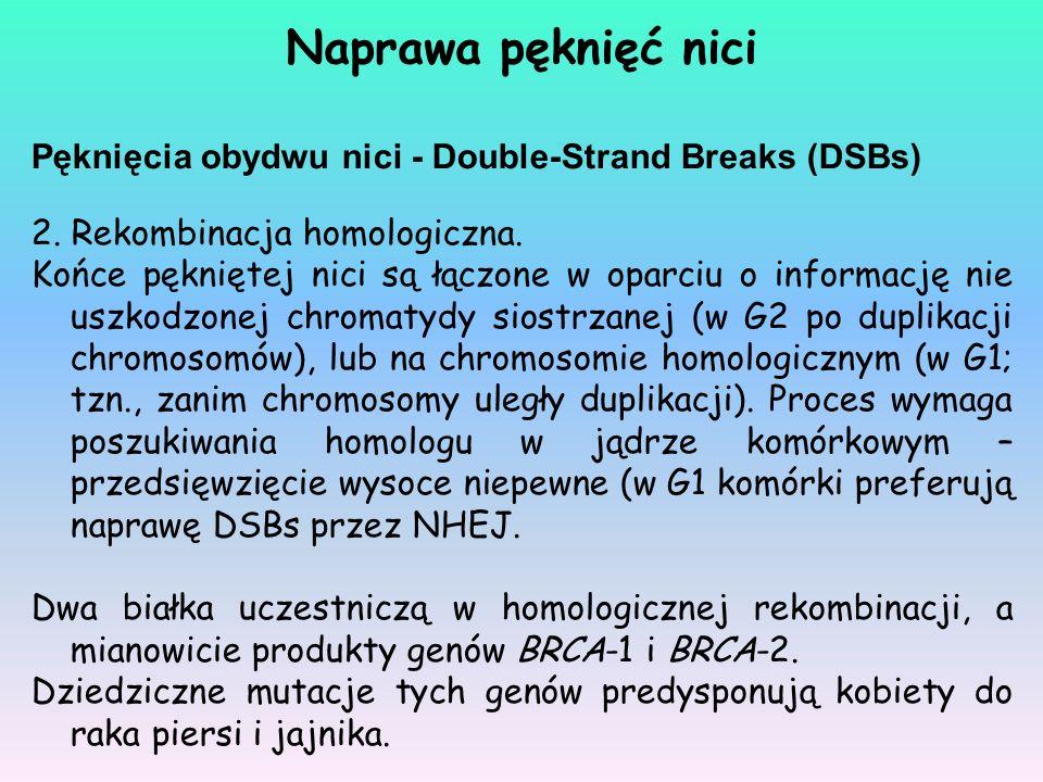 Naprawa pęknięć nici Pęknięcia obydwu nici - Double-Strand Breaks (DSBs) 2. Rekombinacja homologiczna.