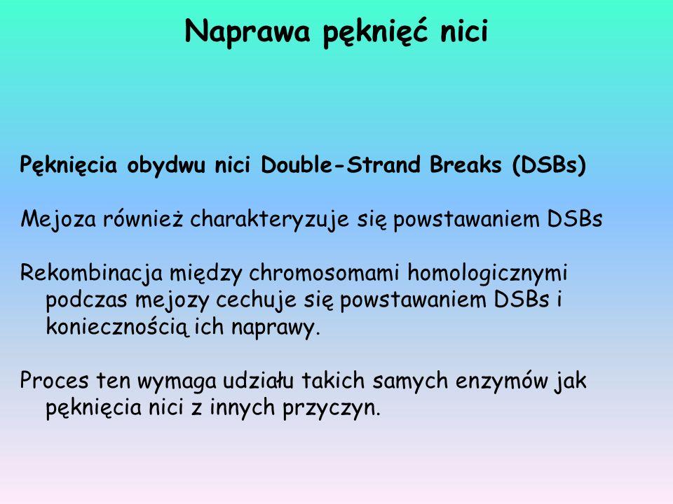Naprawa pęknięć nici Pęknięcia obydwu nici Double-Strand Breaks (DSBs)