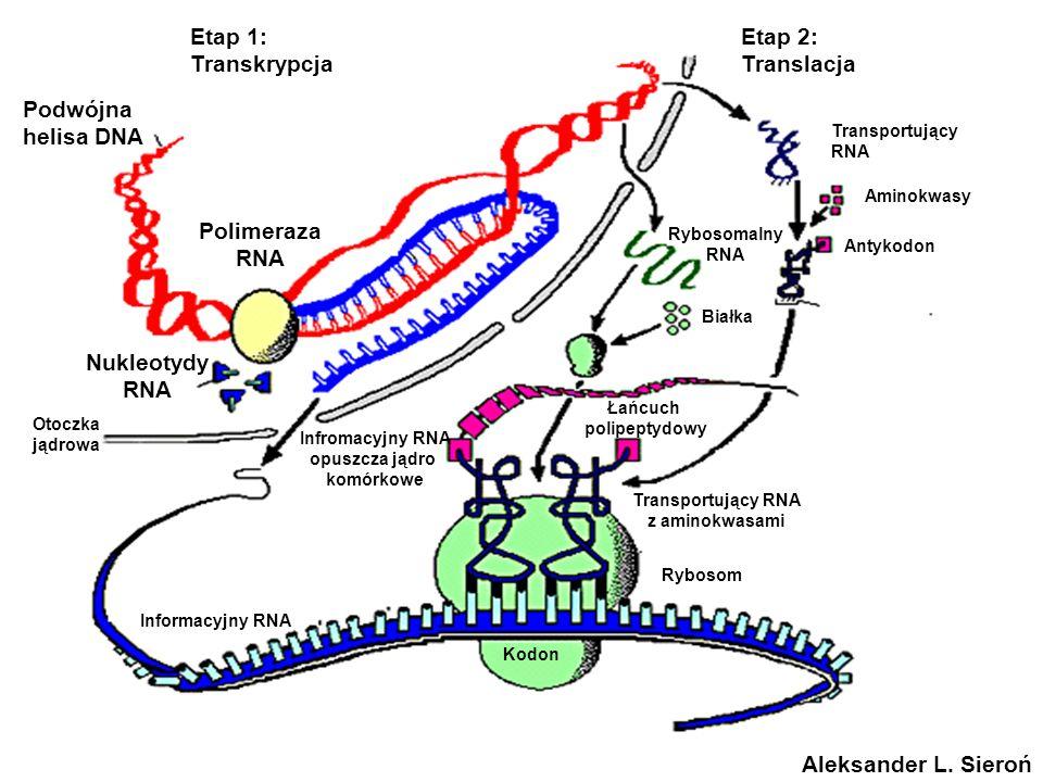 Polimeraza RNA Nukleotydy RNA