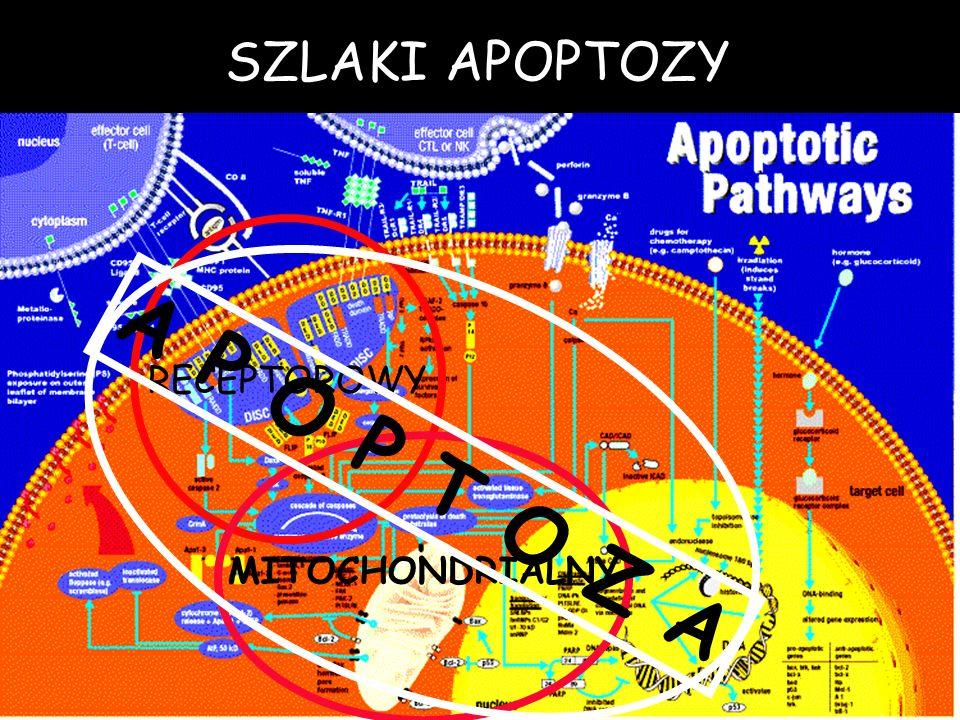 SZLAKI APOPTOZY RECEPTOROWY A P O P T O Z A MITOCHONDRIALNY