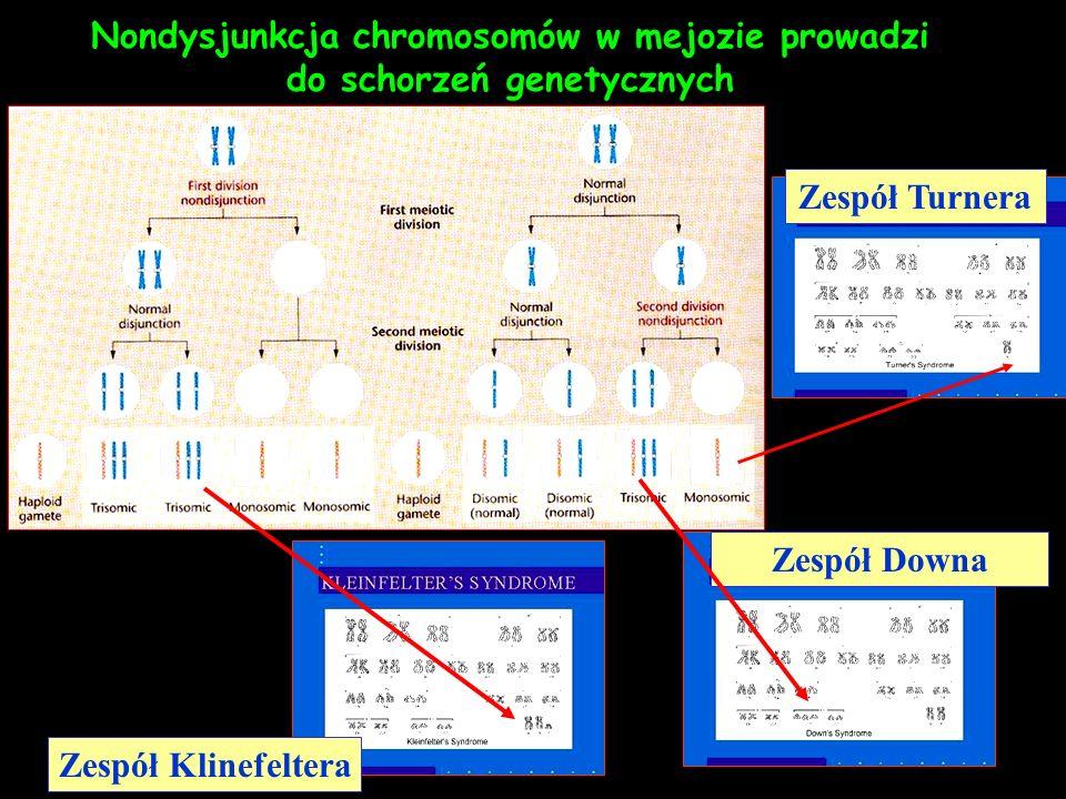 Nondysjunkcja chromosomów w mejozie prowadzi do schorzeń genetycznych