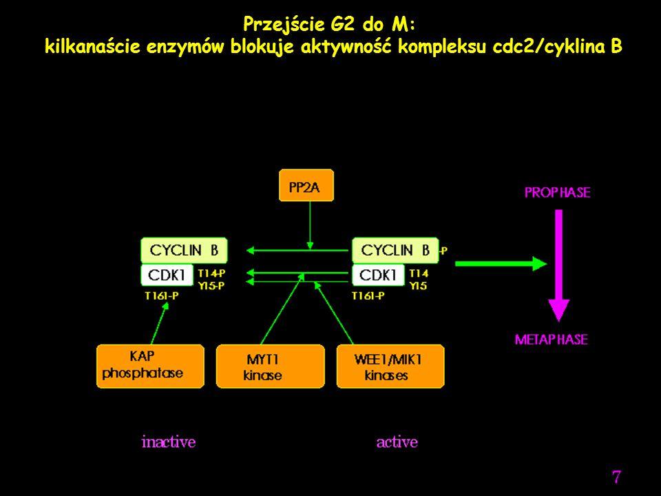 kilkanaście enzymów blokuje aktywność kompleksu cdc2/cyklina B