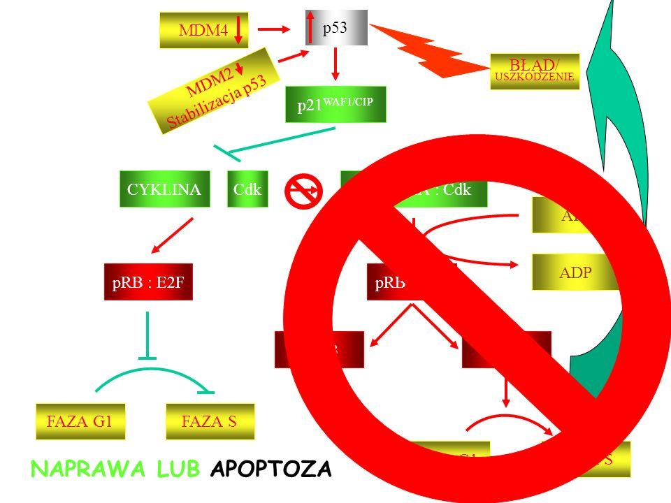 NAPRAWA LUB APOPTOZA MDM4 p53 BŁĄD/ USZKODZENIE MDM2 Stabilizacja p53