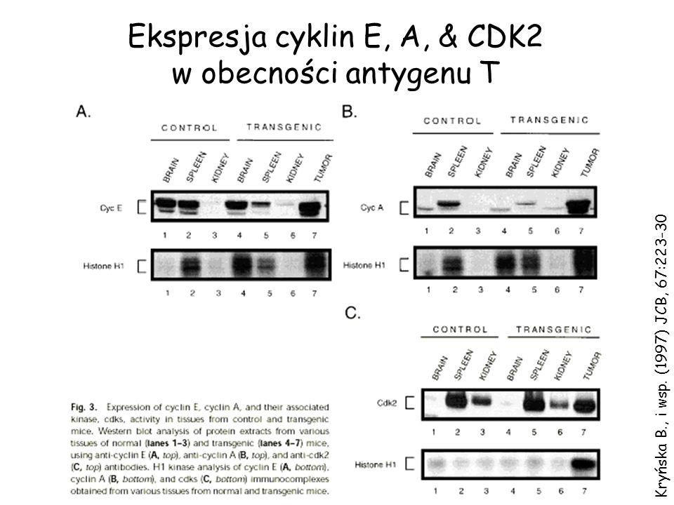 Ekspresja cyklin E, A, & CDK2
