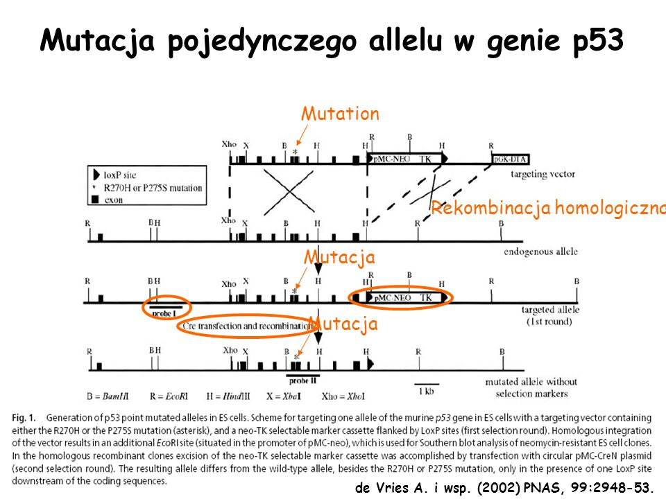 Mutacja pojedynczego allelu w genie p53