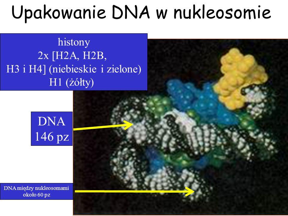 Upakowanie DNA w nukleosomie