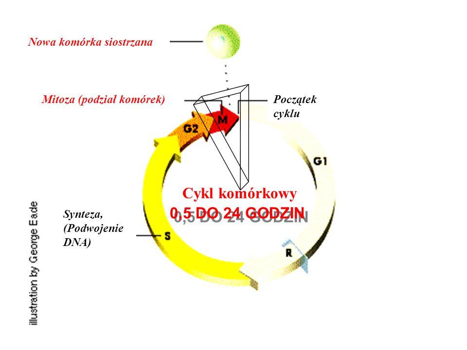 Cykl komórkowy 0,5 DO 24 GODZIN Bloker guzów geny, CDK Blokowanie