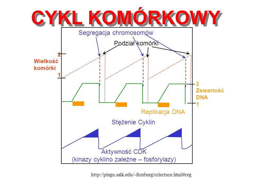 CYKL KOMÓRKOWY Segregacja chromosomów Podział komórki Replikacja DNA