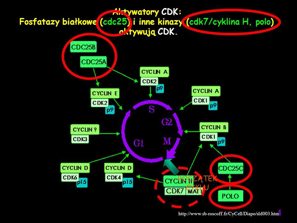 Fosfatazy białkowe (cdc25) i inne kinazy (cdk7/cyklina H, polo)
