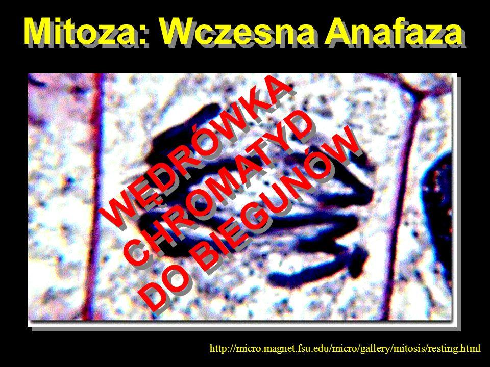 Mitoza: Wczesna Anafaza