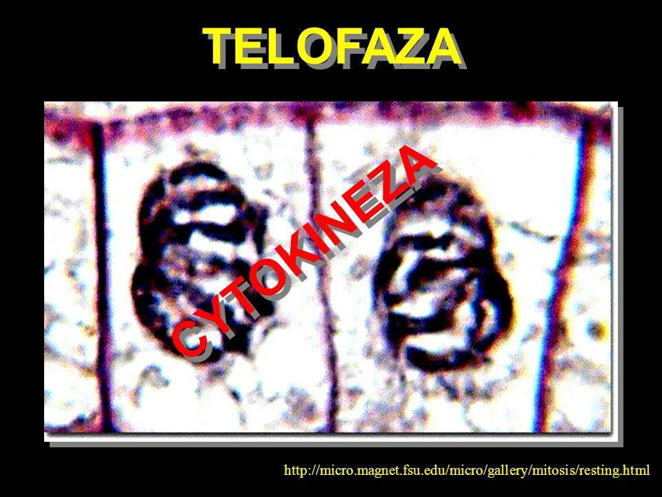 TELOFAZA CYTOKINEZA http://micro.magnet.fsu.edu/micro/gallery/mitosis/resting.html